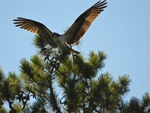 4-osprey-landing-in-pine-wings-out-28aug16_opt