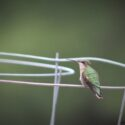 Hummingbirds in Wareham