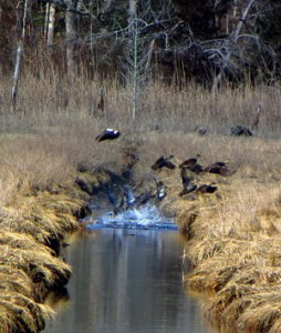 Ducks in Flight_opt