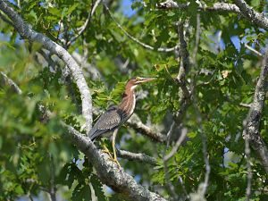 green-heron-in-tree-28aug16_opt