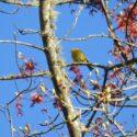 Bird Alert! Nashville Warbler
