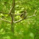 Wareham Baby Birds