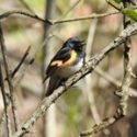 Wareham Birding Series to Begin on February 8th!