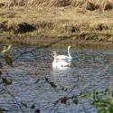Swan Festival