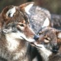 Coyotes and Coywolves