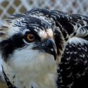 Ospreys – Get the Facts!