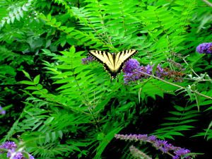 swallowtail 2_opt